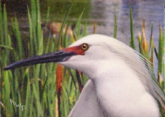 Egret Upclose