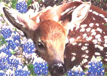 Among the Bluebonnets